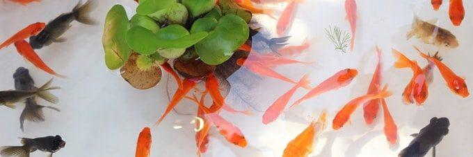 色とりどりの金魚